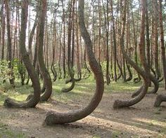 "The Crooked Forest (Krzywy Las - Nowe Czarnowo, West Pomerania, Poland), is a grove of app.400 pine trees planted around 1930. It is generally believed that some human tool or technique was used to make the trees grow this way, but the method and motive are not currently known. Some believe those are ""Compass Timbers"". Other say, tanks from WWII rolled over young trees forcing them to grow in the direction they were run over. But, if so, why would the trees grow this way only near Czarnowo?"