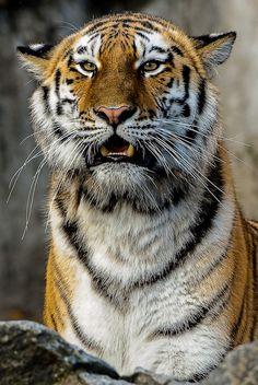 Siberian Tiger - Cutie!