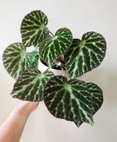 Water Plants, Garden Plants, Indoor Plants, Begonia, Cheese Plant, Rubber Plant, Plant Guide, House Plant Care, Plant Needs