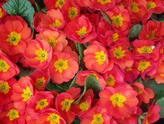 Orange primroses....I love primroses.