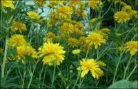 Rudbeckia laciniata var. hortensia Golden Glow  Z 3-9