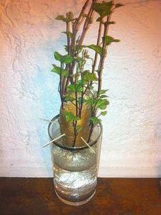 Planter une patate douce une plante verte rapide - Comment planter des patates douces ...