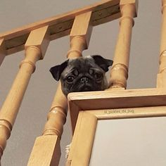 Pug puppy problem #1 - stairs are easier to go up than to go down. Photo by @lil_pickles_da_pug Want to be featured on our Instagram? Tag your photos with #thepugdiary for your chance to be featured.