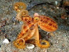rhamphotheca:    octopoda: The rarePoison Ocellate Octopus (Octopus mototi)