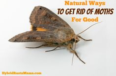 Getting rid of moths naturally can be a bit of a challenge. Moths are clever. Learn my secrets on how to get rid of moths for good sans chemicals. Natural Moth Repellant, Moth Repellent, Moths In House, Getting Rid Of Moths, Rat Infestation, Pantry Moths, Best Pest Control, Bees And Wasps, Pest Management
