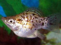 Ballon molly is een vreedzame zoetwater vis die geschikt is voor aquariumbeginners. Te houden in aquarium van 80 cm en ingericht met plantjes en drijfplanten om zich in te kunnen verschuilen. Ballon molly's zijn gevoelig voor witte stip. Aanbeveling is om het water soms met wat jodiumvrij zout te voldoen. Deze vis is een kweekvorm van de Black molly.