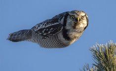 弾丸のようにカッ飛びながらもカメラ目線バッチリのドヤ顔フクロウ