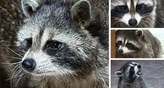 Raccoons as pets. I've always wanted a raccoon!