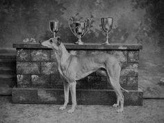 Fawn Greyhound Dean Baden Powell (Property of Mr Eyers, Blandford).