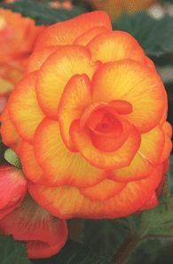 Begonia. Another shade plant. Porch planter