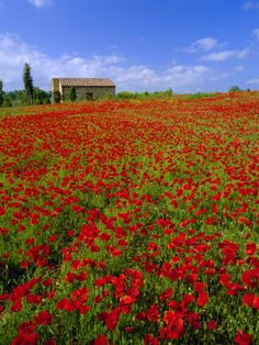 Wild Flowers Inspiration : Poppie fields near Montepulciano, Tuscany, Italy - Flowers.tn - Leading Flowers Magazine, Daily Beautiful flowers for all occasions Wild Flower Meadow, Wild Flowers, Field Of Flowers, Siena Toscana, Emilia Romagna, Beautiful Flowers, Beautiful Places, Farmhouse Landscaping, Landscaping Design
