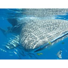 Whale shark largest fish in the ocean