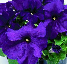 50 Pelleted Seeds Logro Purple Petunia Seeds Large Flowers #93germinationrate