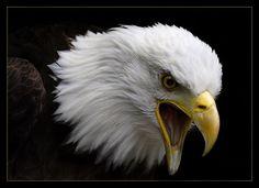 Image from http://i234.photobucket.com/albums/ee144/Orik_Basher/Animals/eagle.jpg.