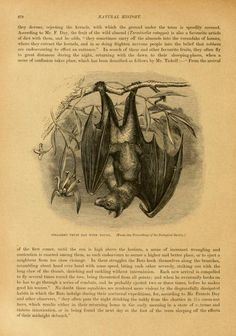 Fruit bat with young, Cassell's Natural History, P. Martin Duncan, Vol 1-2, 1896.