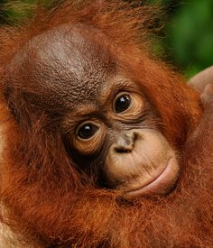 This is Luna This is Luna. She 'disappeared' from a corrupt rescue center over 2 years ago…. Orangutan Monkey, Chimpanzee, Animals And Pets, Baby Animals, Cute Animals, Power Animal, My Animal, Beautiful Creatures, Animals Beautiful