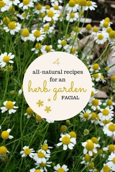 garden therapy Skin-Renewing Herb Garden Facial in Four Steps http://gardentherapy.ca/skin-renewing-herbal-facial/ via bHome https://bhome.us