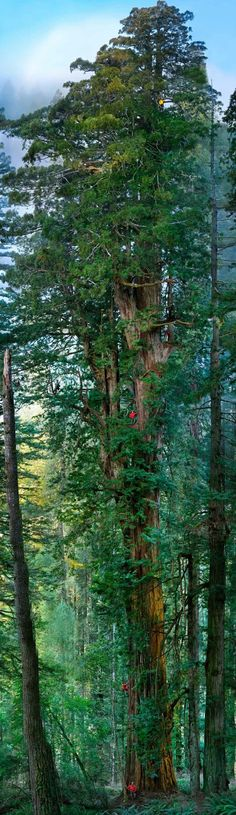 Multiple researchers scale this 300 ft, 1,500 year old redwood - Photo by Michael Nichols