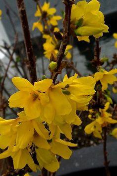 Fosythia golds so gorgeous! http://www.destinationboomers.com/garden-walks-marin-february-2014/