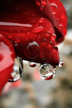 Raindrops on a red rose.
