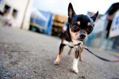 Little chihuahua. Cute Chihuahua, Chihuahua Puppies, Cute Puppies, Cute Dogs, Dogs And Puppies, Cute Babies, Chihuahuas, Doggies, Cute Monkey