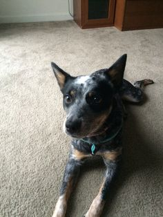 Australian cattle dog blue heeler Bailey