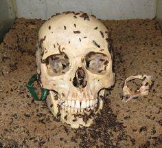 Dermestes maculatus cleaning a skull.