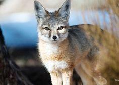 Kit Fox; animal ark wildlife rescue reno nevada