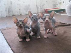 Sphynx kittens we are the three AMIGOS! Chicken Cat, Raw Chicken, Hairless Cats, Sphynx, Crazy Cat Lady, Crazy Cats, Kitty Cats, Cats And Kittens, Sphinx Cat