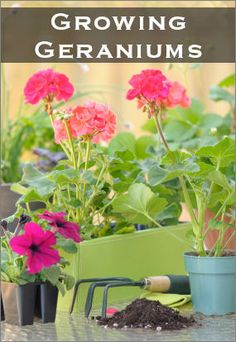Geraniums: Old-Fashioned Favorites That Are Easy To Grow : TipNut.com