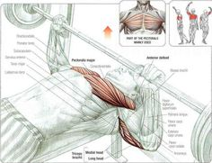 Build chest muscles as part of your bodybuilding program, and you will be taking an important step towards both looking and becoming stronger. Chest muscles are Muscle Body, Muscle Fitness, Fitness Tips, Chest Muscles, Big Muscles, Gym Workout Chart, Workout Routines, Latissimus Dorsi, Weight Benches