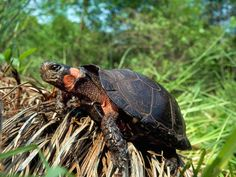 Critically Endangered.  This tiny, critically endangered bog turtle,Clemmys muhlenbergi, is one of the world's smallest, squeezing into a 3- to 4.5-inch (7.9- to 11.4-centimeter) shell. But the eastern-U.S.reptile represents a big conservation problem. Wetland development and drainage have drastically reduced suitable habitat for this and many other species around the globe.    U.S. turtles, likeC. muhlenbergi, are far less threatened than their Asian relatives, but their fates are…