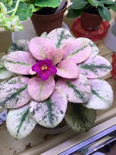 Pink african violet
