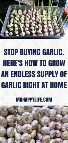 Garlic is arguably one of the world's most versatile and healthiest foods. While you can use garlic to add some serious flavor to any dish, garlic also has quite the long list of health benefits as well. #VegetableGardening