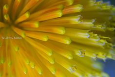 Macro of Torch-Lily / Red-Hot-Poker [Kniphofia; Family: Xanthorrhoeaceae] - Flickr - Photo Sharing!
