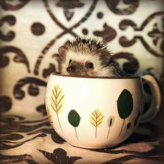 """J-""""Sherlock, did you drug my coffee again?"""" SH-""""Why do you ask?"""" J-""""because you're an otter.and I'm a hedgehog. Pygmy Hedgehog, Hedgehog Pet, Cute Hedgehog, Baby Animals, Cute Animals, Teacup Animals, Armadillo, My Coffee, Morning Coffee"""