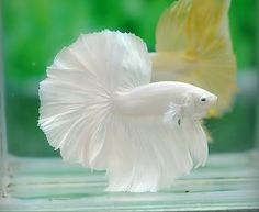 If I had a pet fish, I think this is the one I would want it to be, and I would name it Lily. And I would probably leave a fresh petal on top of its water every day.    Google Image Result for http://i1233.photobucket.com/albums/ff390/LadyDragon11/Snapbucket/5DBA7273-orig.jpg