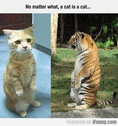 No Matter What, A Cat Is A Cat...  #Funny-Pics http://www.flaproductions.net/funny-pics/no-matter-what-a-cat-is-a-cat/37937/?utm_source=PN&utm_medium=http%3A%2F%2Fwww.pinterest.com%2Falliefernandez3%2Fgreat%2F&utm_campaign=FlaProductions