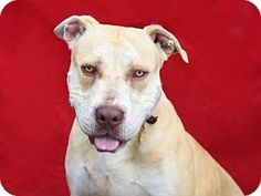 Pasadena, CA - Pit Bull Terrier/Labrador Retriever Mix. Meet DARBY, a dog for adoption. http://www.adoptapet.com/pet/13284096-pasadena-california-pit-bull-terrier-mix