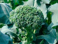Капуста брокколи.Выращивание, уход Особенности выращивания капусты брокколи. Выращивание капусты брокколи в открытом грунте. Для капусты брокколи выращивание рассады и пикировка проходит в возрасте 14 дней...