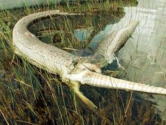 A snake nearly four feet long swallowed an alligator and exploded two meters in early October, after what seems to have been a violent battle fought to the death between two of the most dangerous predators of the Everglades, a swampy area of Florida, in USA. The snake was kind of python, one of the largest in the world. The rangers who photographed the remains of the two reptiles said the fight shows the threat it poses to the fragile ecosystem of the Everglades growing popul of Burmese…
