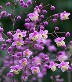 "Thalictrum rochebrunianum ""Lavender Mist Meadow Rue"" - via Annie's Annuals.  Part shade, stalks 6 - 7' tall, and hummingbird friendly.  I like the pussy willow look."