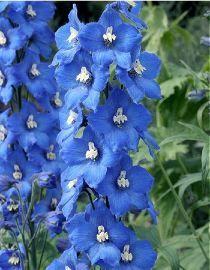 Delphinium x pacific Blue Bird