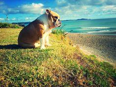 A peaceful moment of bulldog contemplation. #dogs #bulldogs #cute #animals #bech