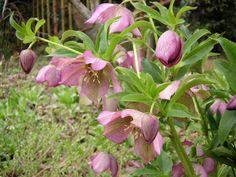 Helleborus/Christmas roses