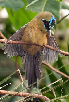 blue-crowned motmot  (photo by mike thompson) looks like it's wearing a mask for the ball.