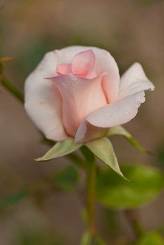 Peach Pink Rose ~~ by Craig Jewell Photography