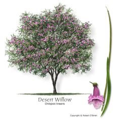 American Smoketree Chittamwood Texas Native Reliable