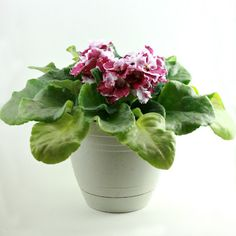 Great simple instructions on how to keep African Violets blooming in your house year round.