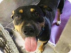 Mesa, AZ - Rottweiler/German Shepherd Dog Mix. Meet SULLIVAN, a dog for adoption. http://www.adoptapet.com/pet/17000842-mesa-arizona-rottweiler-mix